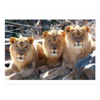 YOUNG MALE LIONS POSTCARD