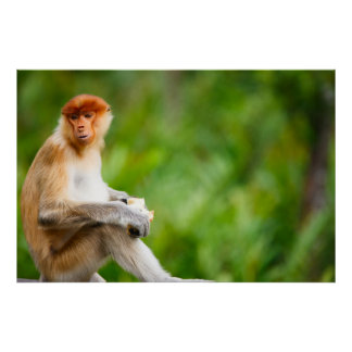 Young male proboscis monkey in a wild on Borneo is Poster