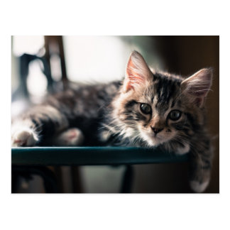 Young Male Tabby Cat 2 Postcard