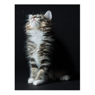 Young Male Tabby Cat Postcard