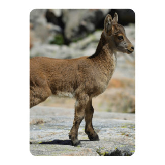 Young male wild goat, Iberian ibex, Spain Card