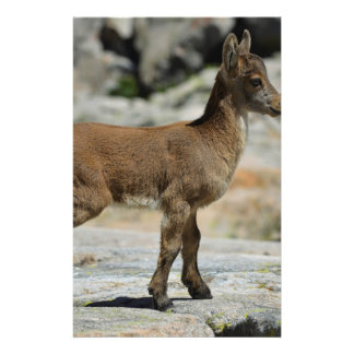 Young male wild goat, Iberian ibex, Spain Stationery