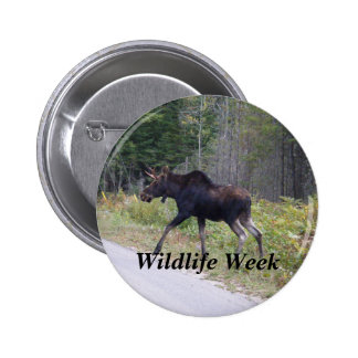 Young Moose About to Cross Road-Wildlife week Pinback Button