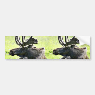 Young moose bumper sticker
