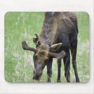 Young moose eating grass mouse pad