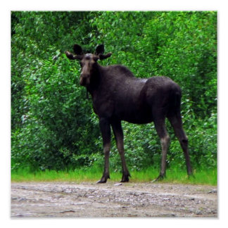 Young Moose Standing Poster