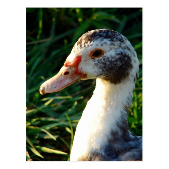 Young Muscovy Hen Duck Postcard