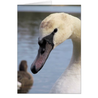 Young Mute Swan Card