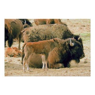 Young & Old Bison Poster