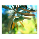 Young Olive On A Branch Photographic Print
