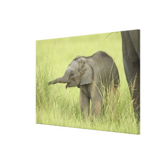 Young one of Indian / Asian Elephant,Corbett Gallery Wrapped Canvas