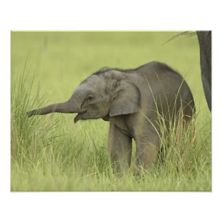 Young one of Indian / Asian Elephant,Corbett Poster