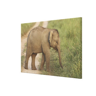 Young one of Indian / Asian Elephant on the Gallery Wrapped Canvas
