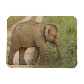 Young one of Indian / Asian Elephant on the Magnet