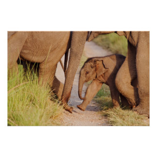 Young one of Indian Asian Elephant Poster