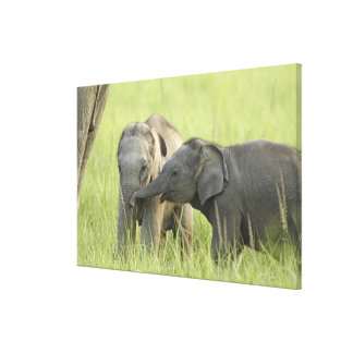 Young ones of Indian / Asian Elephant Stretched Canvas Prints