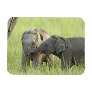 Young ones of Indian / Asian Elephant Magnet