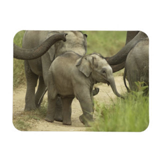 Young ones of Indian / Asian Elephant on the Magnet