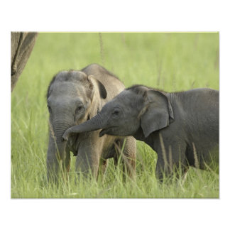Young ones of Indian / Asian Elephant Poster