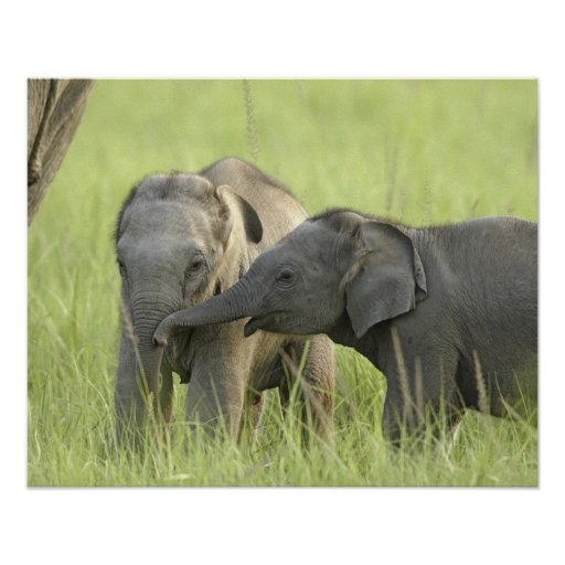 Young ones of Indian / Asian Elephant Posters