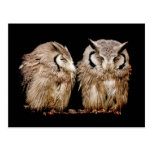 Young Owlets on Dark Background Post Cards