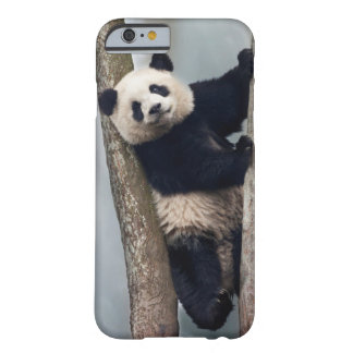 Young Panda climbing a tree, China Barely There iPhone 6 Case