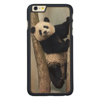 Young Panda climbing a tree, China Carved Maple iPhone 6 Plus Case