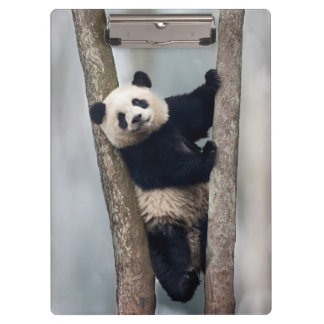 Young Panda climbing a tree, China Clipboard