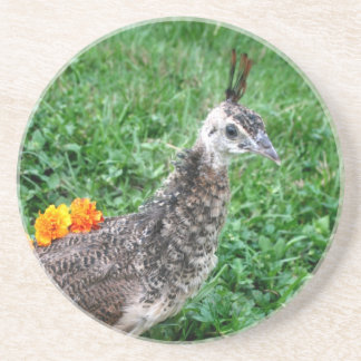 Young peacock Green Grass Orange Flowers Beverage Coaster