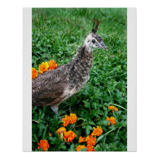 Young peacock Green Grass Orange Flowers Poster