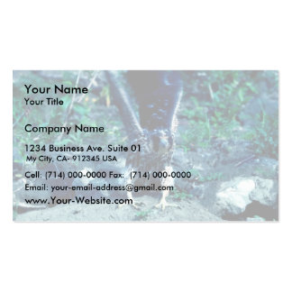 Young Peregrine Falcon Business Cards