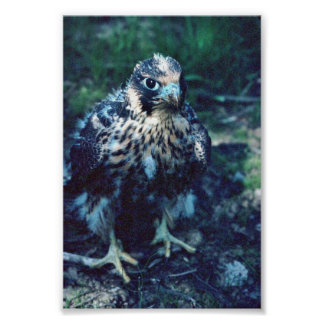 Young Peregrine Print