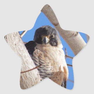 Young Peregrine Star Sticker