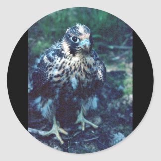 Young Peregrine Classic Round Sticker