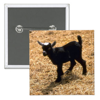 Young Pigmy Goat 2 Inch Square Button