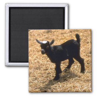 Young Pigmy Goat 2 Inch Square Magnet