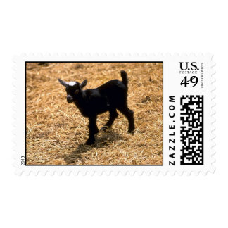 Young Pigmy Goat Postage