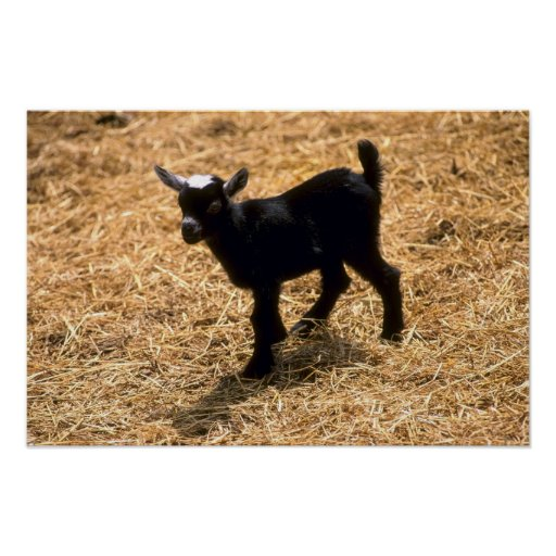 Young Pigmy Goat Poster