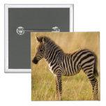Young Plains Zebra Equus quagga) in grass, Buttons