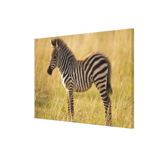 Young Plains Zebra Equus quagga) in grass, Gallery Wrap Canvas