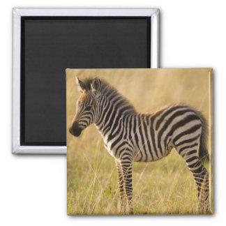 Young Plains Zebra Equus quagga) in grass, Magnet