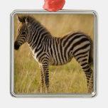 Young Plains Zebra Equus quagga) in grass, Ornament