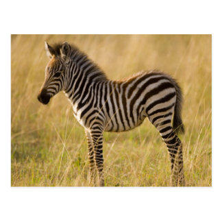 Young Plains Zebra Equus quagga) in grass, Postcard