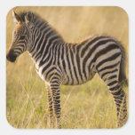 Young Plains Zebra Equus quagga) in grass, Square Sticker