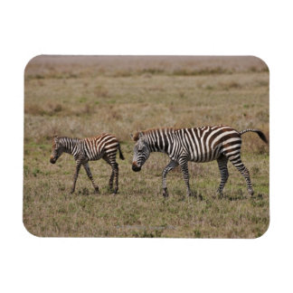young Plains Zebra with mother, Equus quagga, Magnet