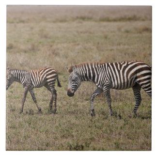 young Plains Zebra with mother, Equus quagga, Tile