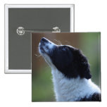 young pup Border Collie Button