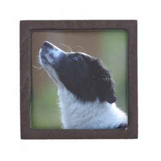young pup Border Collie Jewelry Box