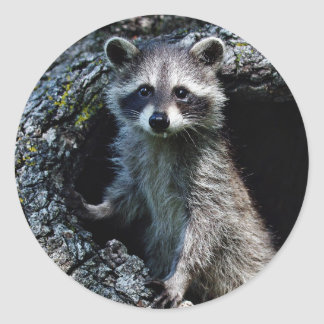 Young Raccoon Classic Round Sticker