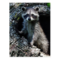 Young Raccoon Postcard
